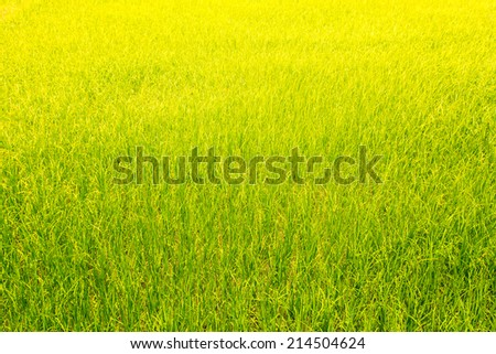 Green rice field background of nature lanscape - stock photo