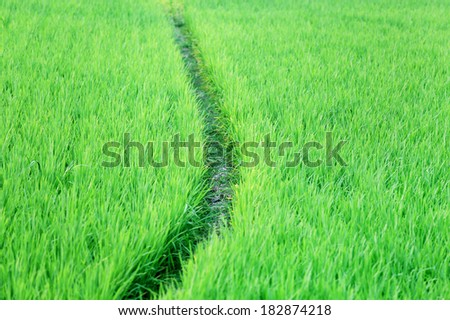 Green rice field in Bangladesh - stock photo