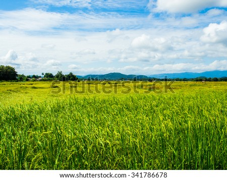 Green Rice Field in Sunny Sky Day, Nan Province, Northern part of Thailand