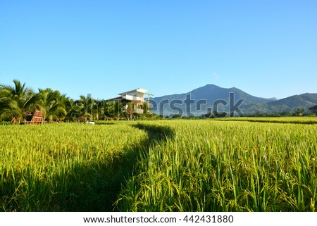 Green rice field with fog in the morning