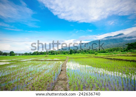 Green Rice Field with Mountains Background under Blue Sky and Clouds - stock photo