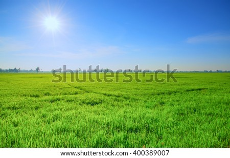 Green rice field with sun and blue sky