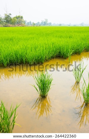 green rice field with water in foreground, vertical landscape thailand - stock photo