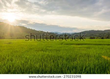 Green rice fields at evening - stock photo