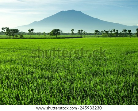 Green rice fields in beautiful morning view with blue mountain background. This picture taken in Central Java island, Indonesia. - stock photo