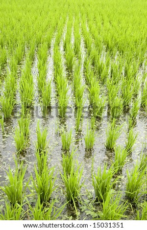 Green rice fields in early stage - stock photo