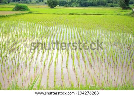 Green rice fields of northeastern Thailand. - stock photo