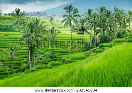 Green rice fields on Bali island, Jatiluwih near Ubud, Indonesia - stock photo