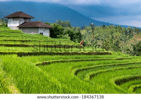 Green rice fields on Bali island, Jatiluwih, near Ubud, Indonesia, Asia - stock photo