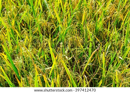 Green rice grain field Background texture - stock photo