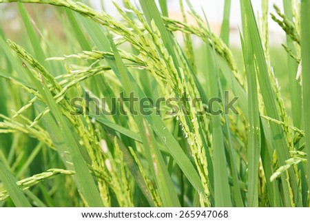 Green rice in Thailand, Close up. - stock photo