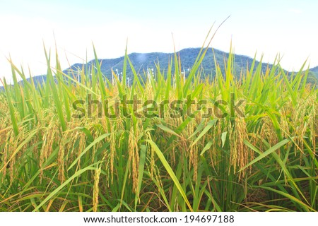 Green rice in the field rice background - stock photo
