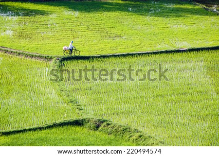 Green rice paddies, farmers have been cycling and cows on the levee at Chau Doc, An Giang Province - stock photo