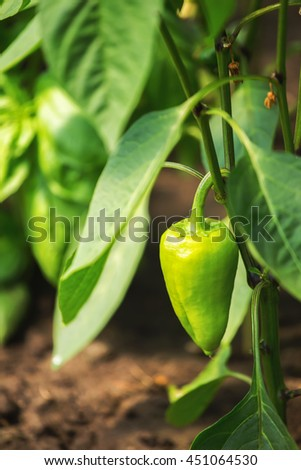 Green ripe bell pepper on a plant in greenhouse. Shallow depth of field - stock photo