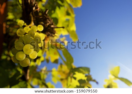 Green ripe grapes with sky blue copy space - stock photo