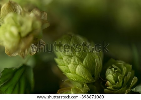 Green ripe hops cones bush on black background / Freshly harvested ripe hops flowers for beer making / Green fresh hops cones isolated on black - stock photo