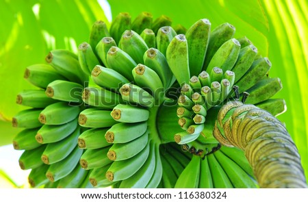 Green ripening bananas - stock photo