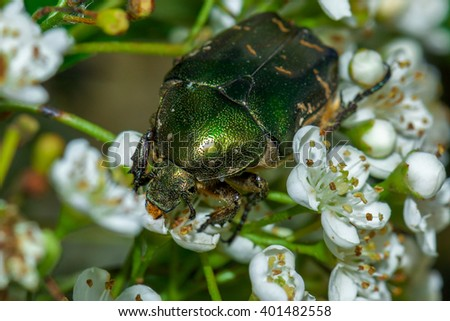 Green rose chafer (Cetonia aurata) on a flower