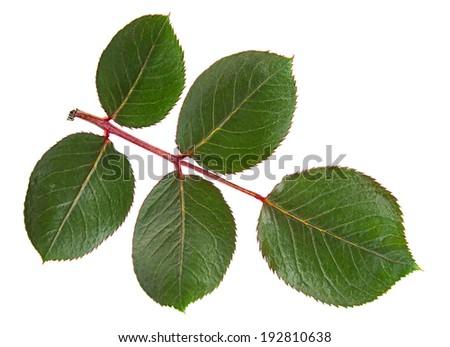 Green rose leaf isolated on white background - stock photo