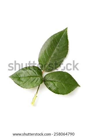 Green rose leaves isolated on white background