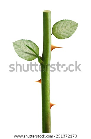 Green rose stem with yellow thorns, Rose prickles on a white background, clipping path and alpha channel included. - stock photo