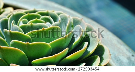 Green rosettes of the sempervivum succulent plant - stock photo