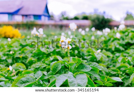 Green rows and flower in village garden in summer time - stock photo
