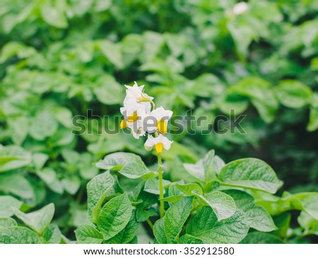 Green rows and flower of potato in garden - stock photo