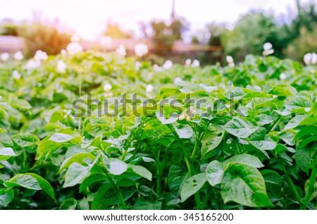 Green rows in village garden in summer time - stock photo