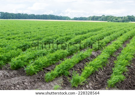 Green rows of carrot plants in an agricultural landscape. - stock photo