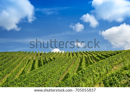 Green rows of vine at the vineyard against blue sky on sunny summer day, fresh growing leaves