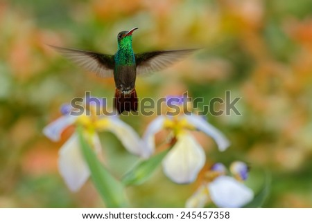 Green Rufous-tailed Hummingbird, Amazilia tzacatl, flying next to beautiful flower, nice flowered orange green background, Costa Rica  - stock photo