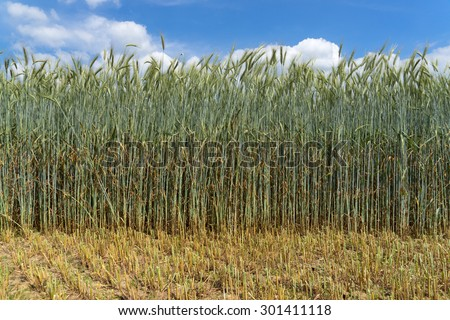 Green rye with very long stalk, from which has been harvested a part of the field for the production of whole crop silage. Taken in mid-June in Germany.  - stock photo