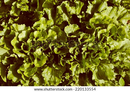 Green salad plant useful as a background