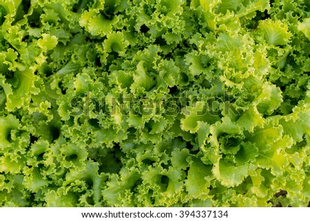 Green salad texture background  - stock photo