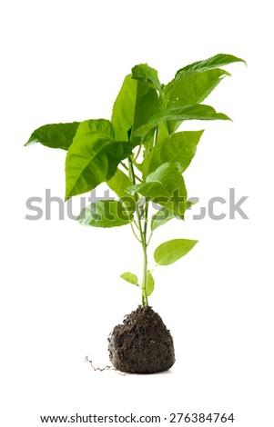 green sapling - stock photo