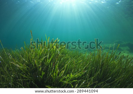 Green Sea Grass Underwater and Sunlight - stock photo
