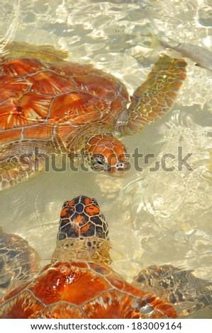 green sea turtle - stock photo