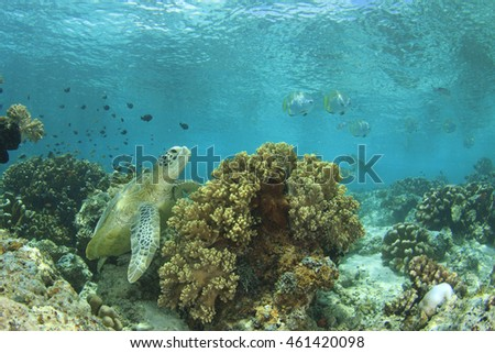 Green Sea Turtle and coral reef