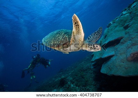 Green Sea Turtle and Scuba Divers