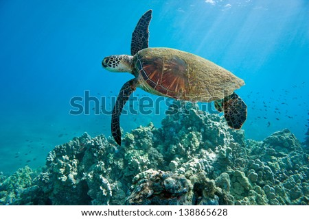 green sea turtle and tropical coral reef in hawaii - stock photo