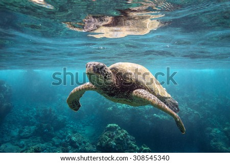 Green Sea Turtle at Surface - stock photo