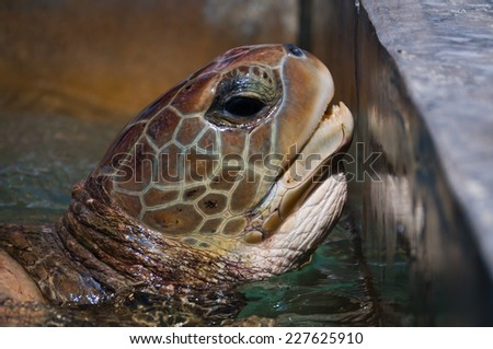 Green sea turtle by the pool's wall