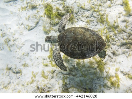 Green Sea Turtle (Chelonia mydas) from above - stock photo