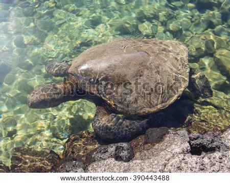Green sea turtle (Chelonia mydas) is a large sea turtle of the family Cheloniidae. - stock photo