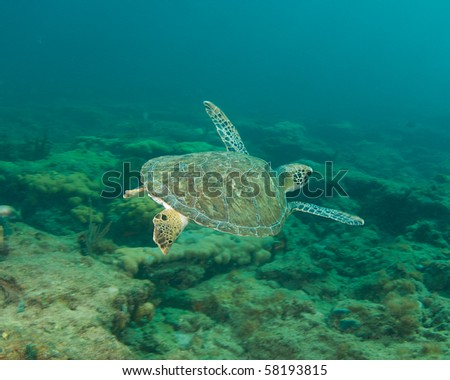 Green Sea Turtle-Chelonia mydas, picture taken in Broward County, Florida