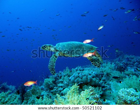 Green sea turtle, Chelonia mydas, Red Sea.