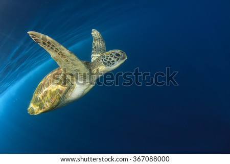 Green Sea Turtle (Chelonia mydas) swimming in clear blue ocean - stock photo