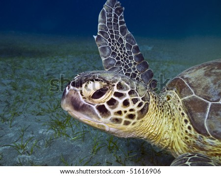 Green sea turtle Chelonia mydas  swimming underwater , Abu Dabab,  Egypt