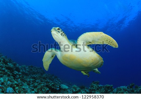 Green Sea Turtle (Chelonia mydas) swims over coral reef in blue ocean